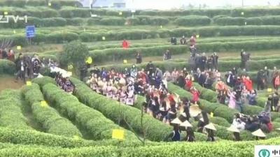 """2019福州(晋安)春茶开采节:弘扬传统茶文化 开启""""开春第一采"""""""