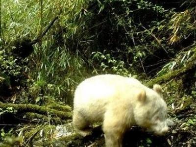 全球首秀!纯白大熊猫现身,没有黑眼圈!