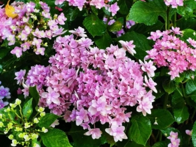 今夏福州最抢镜的花来了! 名字大有来头……