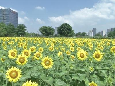 超4000平米向日葵惊艳开放,随手拍都是大片