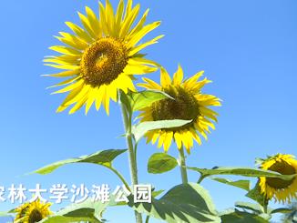 美翻了!福州的向日葵如约盛开,随手拍都是大片