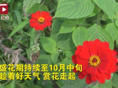 晋安这片百日菊悄然绽放,静待赏花人~