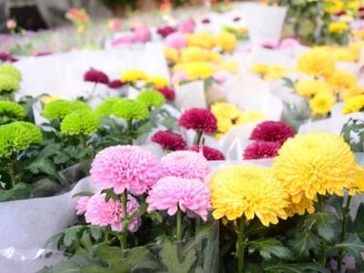 年宵花热卖!传统花卉价格稳中有降 新品花卉意外热销