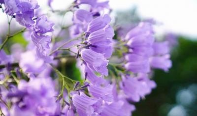 五月的福州是紫色的,炸裂无数人的少女心