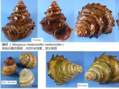 螺蛳或将被列为国家二级保护动物