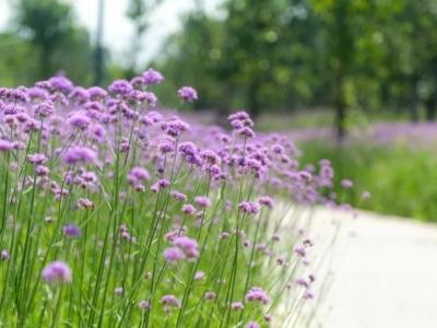 """这片无法抗拒的紫色花海,把福州美成了""""普罗旺斯"""""""