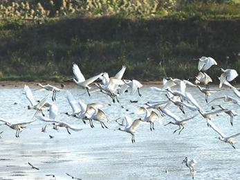 闽江河口湿地自然保护区迎来最佳观鸟季
